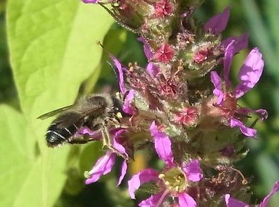 Abeilles, bourdons et pollinisation